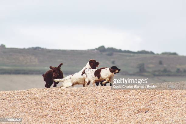 dogs exercising on the beach - medium group of animals stock pictures, royalty-free photos & images