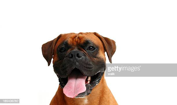 dog's face - boxer dog stock pictures, royalty-free photos & images
