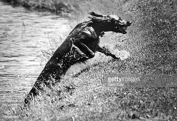 JUN 11 1970 JUN 15 1970 Dogs Feather an Irish Setter Cools Off With a Jump in the Lake He retrieved tennis ball from water in Washington Park during...