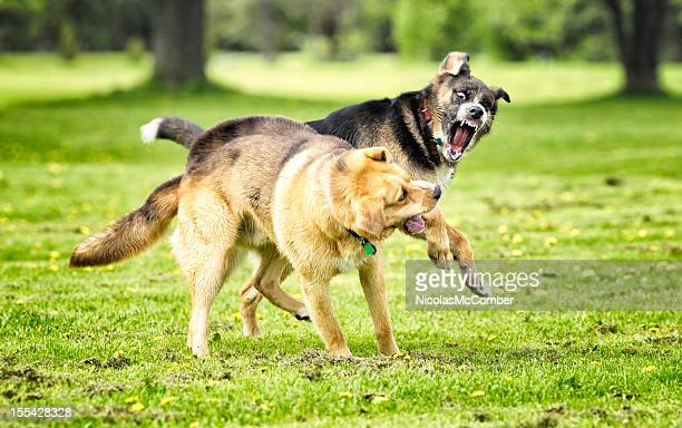 dogs fighting in a park - dog fight stock pictures, royalty-free photos & images