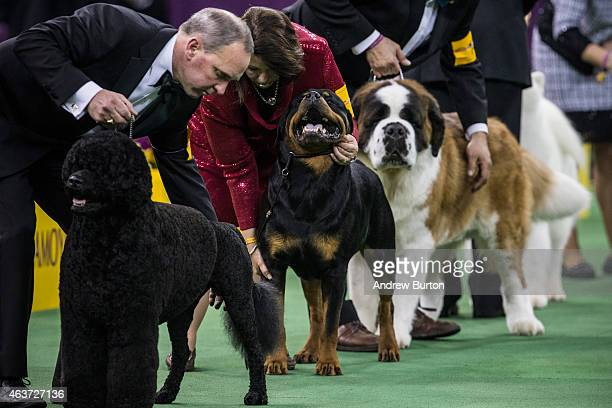 Dogs from the Working Group round of the Westminster Kennel Club dog show are shown on February 17 2015 in New York City The show which is in its...