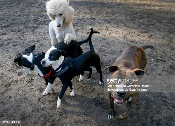 Dogs gather at the Stern Grove off-leash dog park in San Francisco, Calif. On Thursday, Dec. 17, 2020. Dog ownership has increased in recent months...