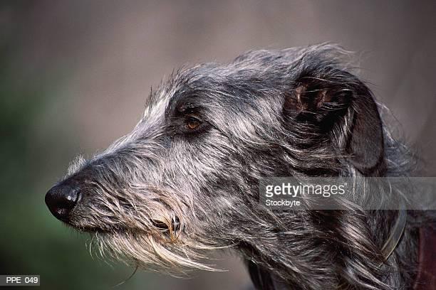 dog's head, profile - アイリッシュウルフハウンド ストックフォトと画像
