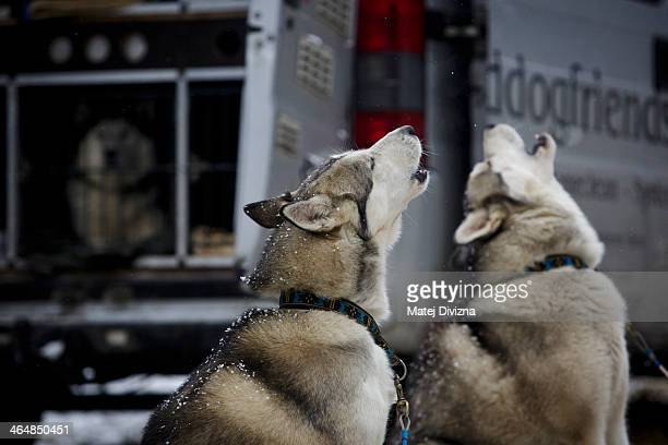 Dogs howl before the start of The Sedivackuv Long 2014 dog sled race in the Orlicke mountains on January 24 in Destne v Orlickych horach near the...