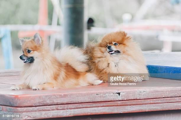Dogs, Hua Hin