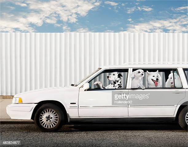 dogs in car - digital composite stock-fotos und bilder
