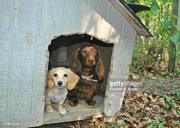 dogs in dog house - long haired dachshund stock photos and pictures