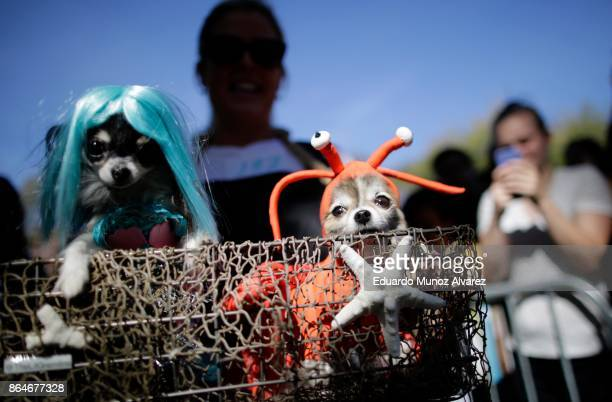 Dogs in halloween costumes attend the 27th Annual Tompkins Square Halloween Dog Parade in Tompkins Square Park on October 21, 2017 in New York City....