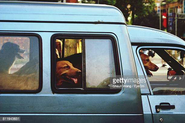 Dogs in mini van