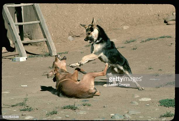 dogs in playful combat - dog fight stock pictures, royalty-free photos & images
