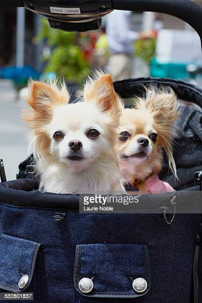 dogs in push chair, tokyo, japan - japanese spitz stock pictures, royalty-free photos & images