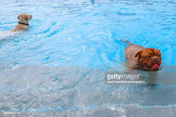 Dogs in swimming pool