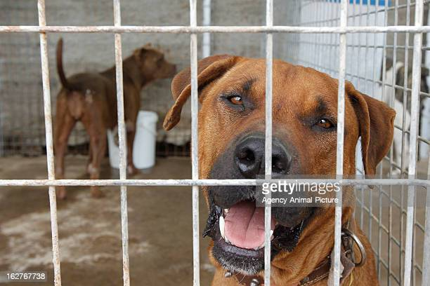 Dogs in the dog shelter of Fasnia on October 01 2012 in Tenerife Spain