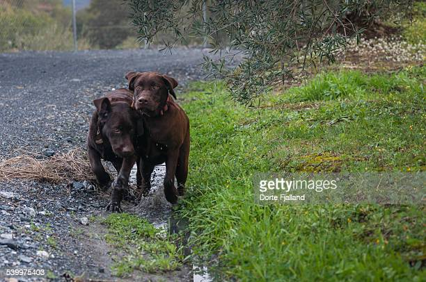 Dogs in the puddle