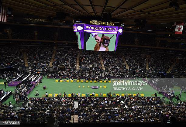 Dogs in the Working Group are displayed before the winner of that group goes to 'best in show' of the 139th Annual Westminster Kennel Club Dog Show...