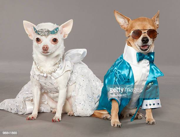 dogs in tux and wedding dress - formal stock pictures, royalty-free photos & images