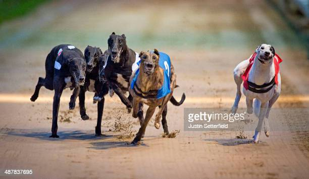 Dogs jostle for position during race 3 which was one by Trap 1 Kippers Usian at the William Hill Wimbledon Derby 1st round Heats at Wimbledon...