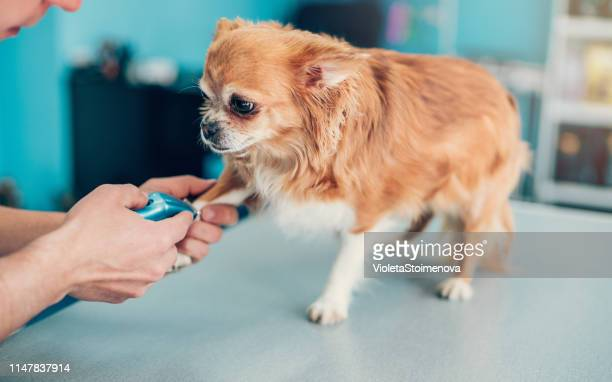 dog's leg being shaved in animal hospital - long haired chihuahua stock photos and pictures