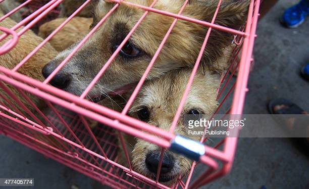 Dogs looking out from a cage at the market on June 20 2014 in Yulin China An annual Chinese dog meat festival kicked off earlier than usual this year...