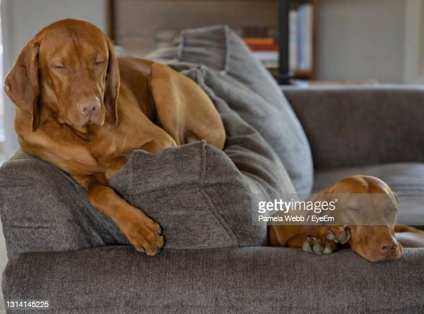 dogs lying on sofa at home - pointer dog stock pictures, royalty-free photos & images