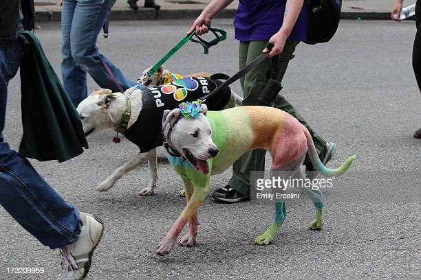 CONTENT] Dogs march in the Boston Pride parade along with their owners painted fun colors and sports the rainbow flag for gay pride in early June