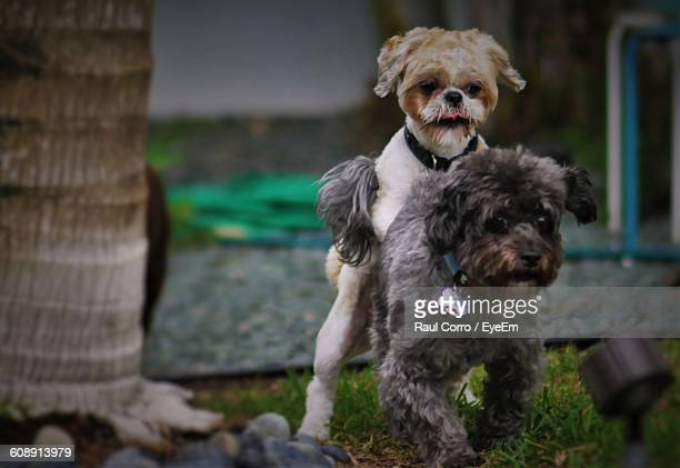 dogs mating in yard - accouplement animal photos et images de collection