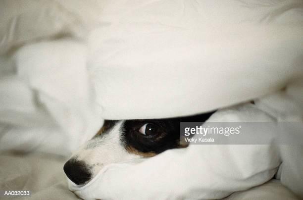 Dog's Nose Sticking Out From Bedding