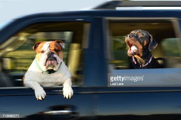 Dogs on a Joy Ride