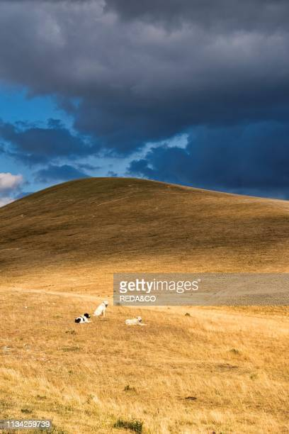 Dogs on Campo Imperatore plateau. Gran Sasso e Monti della Laga National Park. Abruzzo. Italy.