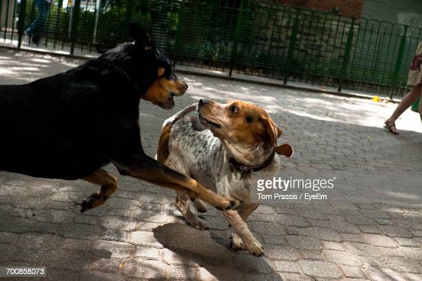 dogs on ground - dog fight stock pictures, royalty-free photos & images