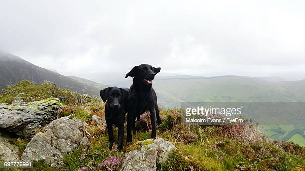 dogs on mountain against sky - black labrador stock pictures, royalty-free photos & images