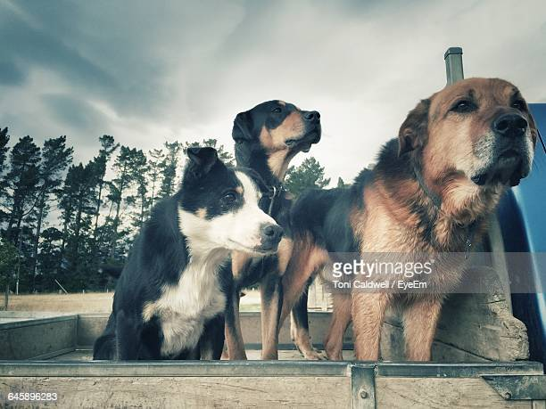 Dogs On Pick-Up Truck Against Cloudy Sky