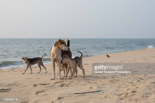 dogs on the beach, marari - stray animal stock pictures, royalty-free photos & images