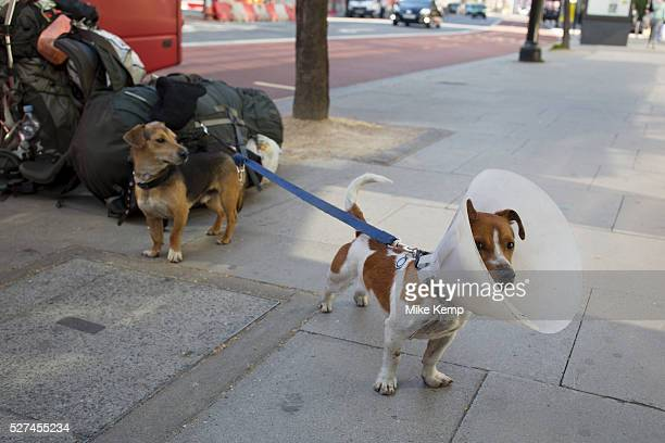 Dogs owned by a homeless man wait beside a pile of his belongings London UK Two Jack Russell Terriers one of which is wearing a flea collar