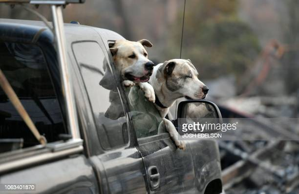 Dogs owned by Ryan and Kimberly Spainhower hang out their car window while they search through the burned remains of their home in Paradise...