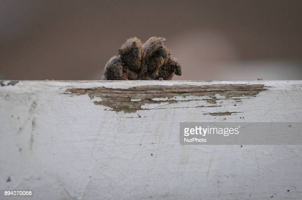 A dogs paw is seen resting on a log in Bydgoszcz Poland on December 17 2017 A local group called HDR Wataha organizes activities that people can do...