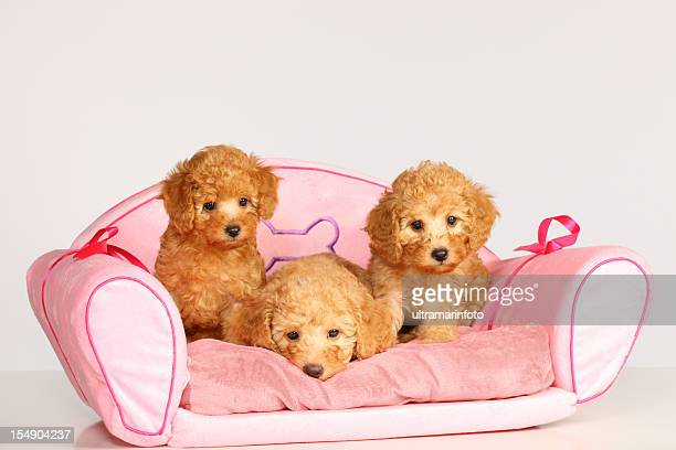 dogs - miniature poodle stock photos and pictures