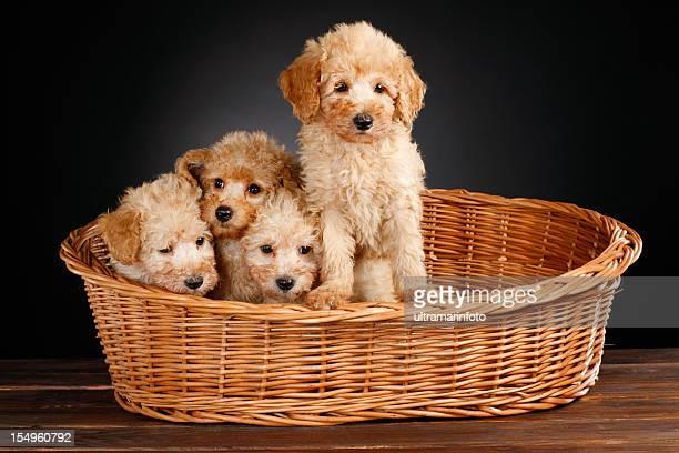 cani - barboncino nano foto e immagini stock
