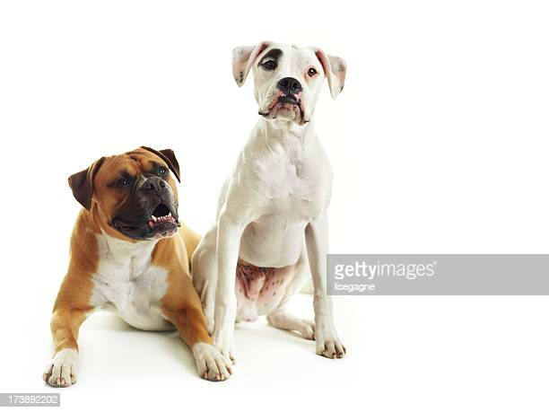dogs - boxer dog stock pictures, royalty-free photos & images
