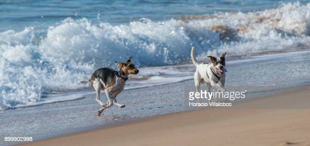 Dogs play by the sea in Carcavelos Beach on December 17 2017 in Cascais Portugal Carcavelos is an all year round favorite beach for locals and...