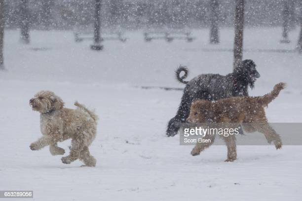 Dogs play in the snow on the Boston Common as Winter Storm Stella bears down on March 14 2017 in Boston Massachussets