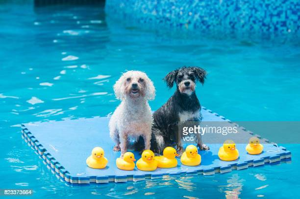 Dogs play on foam pad in a swimming pool on July 26 2017 in Chengdu Sichuan Province of China 4 swimming pools have been opened to dogs in Chengdu...