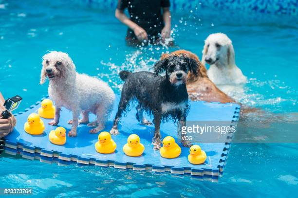 Dogs play on foam pad in swimming pool on July 26 2017 in Chengdu Sichuan Province of China 4 swimming pools have been opened to dogs in Chengdu some...