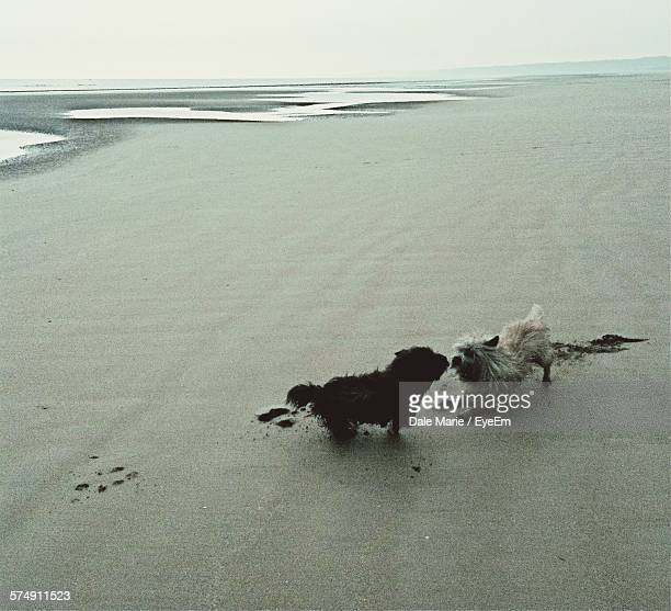 Dogs Playing At Beach