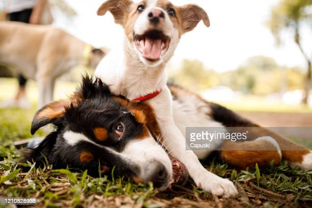 dogs playing at public park - dogs stock pictures, royalty-free photos & images