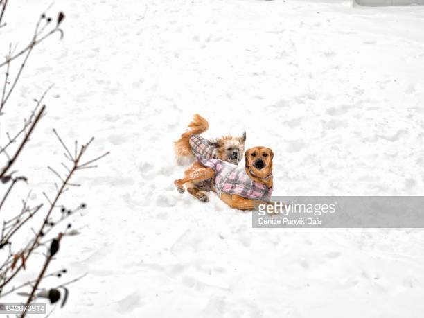 dogs playing in snow - panyik-dale stock photos and pictures