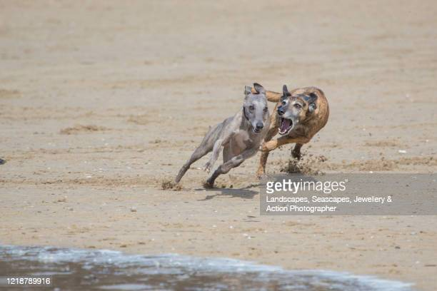dogs playing on a sandy beach - taking a corner stock pictures, royalty-free photos & images