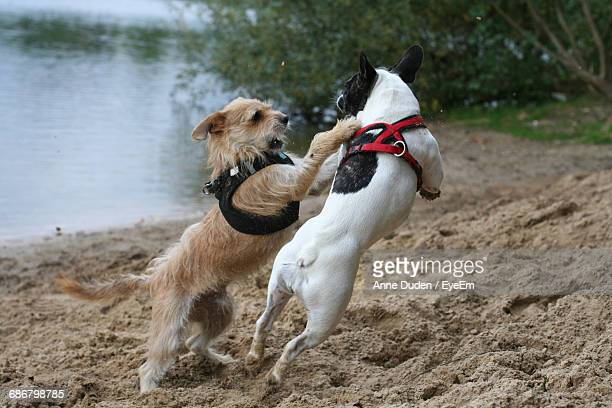 dogs playing on lakeshore - dog fight stock pictures, royalty-free photos & images