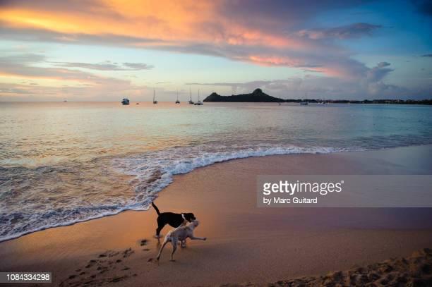 dogs playing on reduit beach, gros islet, saint lucia - paisajes de santa lucia fotografías e imágenes de stock