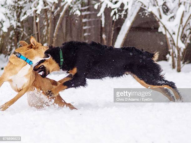 dogs playing on snow covered field - adamo photos et images de collection